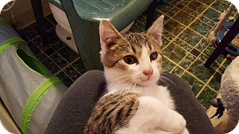 Domestic Shorthair Kitten for adoption in Irwin, Pennsylvania - Justice