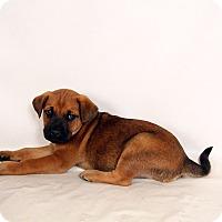 Adopt A Pet :: Parker BoxerHeeler - St. Louis, MO