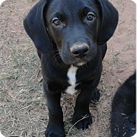 Labrador Retriever Mix Puppy for adoption in Ozark, Alabama - Ty