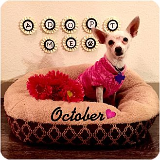 Chihuahua Mix Dog for adoption in Houston, Texas - October