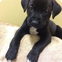 Adopt A Pet :: Yaki - Houston, TX