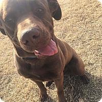 Adopt A Pet :: Ace (DENVER) - Fort Collins, CO
