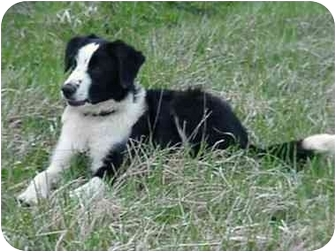 Border Collie Dog for adoption in Tiffin, Ohio - Belmont Rodeo