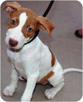 ... Gilbert, AZ | German Shorthaired Pointer/American Pit Bull Terrier Mix