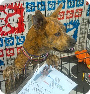 Terrier (Unknown Type, Medium)/Australian Cattle Dog Mix Dog for adoption in Phoenix, Arizona - Stella
