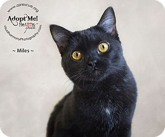 Bombay Cat for adoption in Phoenix, Arizona - Miles