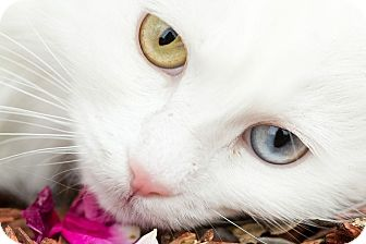 Turkish Angora Cat for adoption in San Antonio, Texas - Lenora
