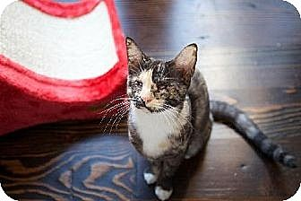 Domestic Shorthair Cat for adoption in Santa Monica, California - Hera and Chin Chin