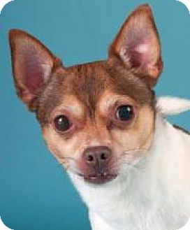 Chihuahua Mix Dog for adoption in Chicago, Illinois - Max