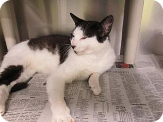 Domestic Mediumhair Cat for adoption in Greenville, North Carolina - Magic
