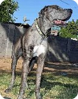 Great Dane Dog for adoption in Phoenix, Arizona - Duke