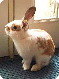 Lop-Eared Mix for adoption in Hillside, New Jersey - Peter