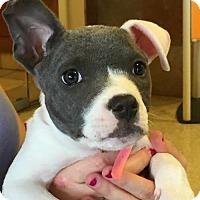 Adopt A Pet :: Bella - Frisco, TX