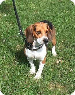Beagle Dog for adoption in Detroit, Michigan - Eldred aka Jake - Pending!