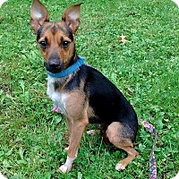 Miniature Pinscher Mix Dog for adoption in Elyria, Ohio - Gypsy