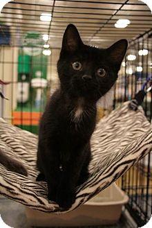 Domestic Shorthair Kitten for adoption in Sacramento, California - Delaney