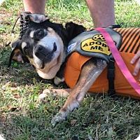 Adopt A Pet :: Cookie - Hazlet, NJ
