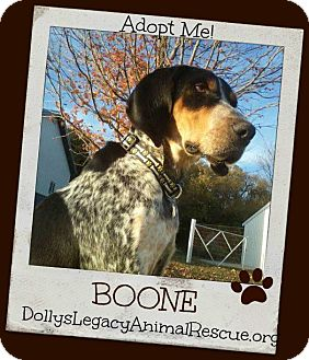 Bluetick Coonhound Dog for adoption in Lincoln, Nebraska - BOONE
