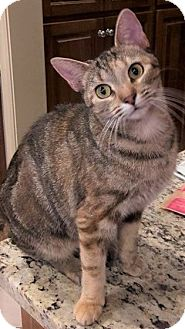 Domestic Shorthair Cat for adoption in Chattanooga, Tennessee - Lillymae