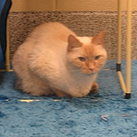 Adopt A Pet :: Mr White - Rockville, MD