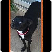 Adopt A Pet :: Smudge - Enid, OK
