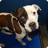 Adopt A Pet :: Two Face - Henderson, NC