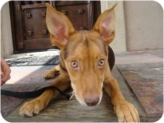 German Shepherd Dog/Basenji Mix Dog for adoption in Houston, Texas - WHITNEY
