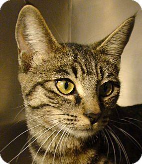 Domestic Shorthair Cat for adoption in El Cajon, California - Jewel