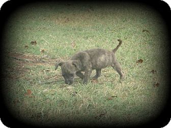 Cairn Terrier/Terrier (Unknown Type, Small) Mix Puppy for adoption in Indian Trail, North Carolina - Candy