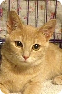 Domestic Shorthair Cat for adoption in Mount Laurel, New Jersey - Apple