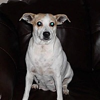 Jack Russell Terrier Dog for adoption in Corbin, Kentucky - Candi