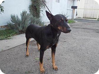 Doberman Pinscher Dog for adoption in Bakersfield, California - Sunnee