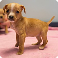Adopt A Pet :: Ziti - $250 - Seneca, SC