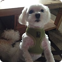 Adopt A Pet :: Daisy - Mississauga, ON