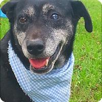 Retriever (Unknown Type) Mix Dog for adoption in Huntington, New York - Lauren - N