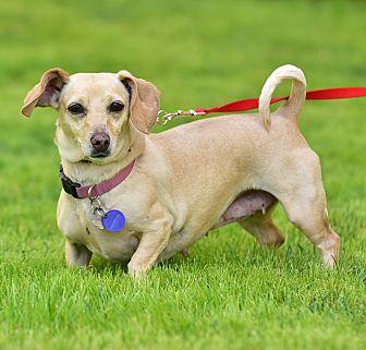 Dachshund Mix Dog for adoption in Santa Monica, California - Selina