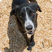 Adopt A Pet :: Sophia $125 - Seneca, SC