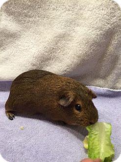 Guinea Pig for adoption in Princeton, Minnesota - Dayzie