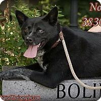 Australian Cattle Dog Mix Dog for adoption in Zanesville, Ohio - 38304 Nova sponsored $25
