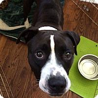 Adopt A Pet :: Bella - Sanford, NC