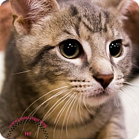 Domestic Shorthair Cat for adoption in Staten Island, New York - Checkers