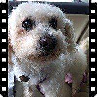 Bichon Frise Dog for adoption in Tulsa, Oklahoma - Adopted!Fiona - S TX
