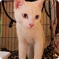 Domestic Shorthair Cat for adoption in Jemez Pueblo, New Mexico - Timmy