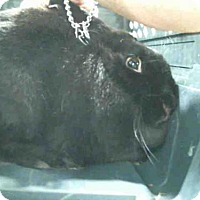 Adopt A Pet :: BLACK MAGIC - Murray, UT