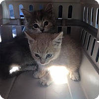 Domestic Mediumhair Kitten for adoption in Troy, Illinois - Mindy (Fostered Mandy M)