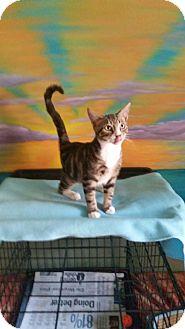 Domestic Shorthair Kitten for adoption in Chesapeake, Virginia - Baxter