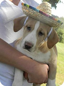 Catahoula Leopard Dog Mix Puppy for adoption in Foristell, Missouri - Bennett