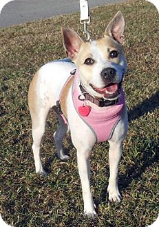 Jack Russell Terrier Mix Dog for adoption in White Bluff, Tennessee - Belle/jackie
