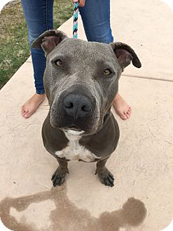 American Staffordshire Terrier/American Pit Bull Terrier Mix Dog for adoption in San Diego, California - Sampson