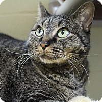 Domestic Shorthair Cat for adoption in Wheaton, Illinois - Dali